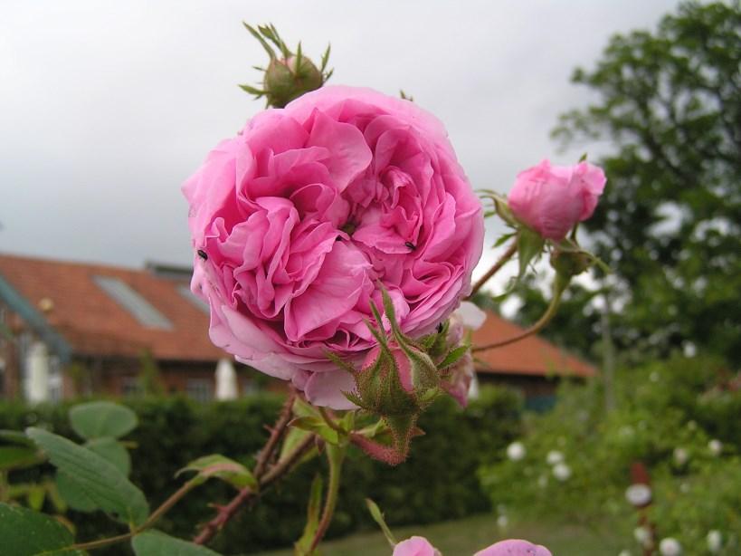 Gartengestaltung: Rosen der Gutsgaertnerei Sierhagen