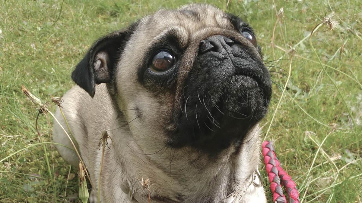 Hunde bei Dr. Klein: Mops Lotte